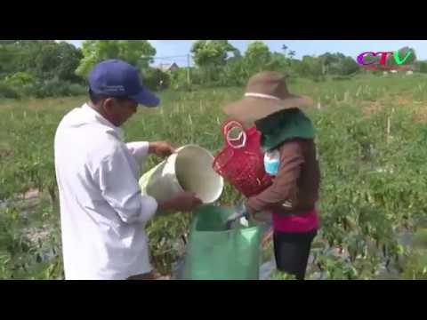 giải cứu ớt cho nông dân Cam Lộ
