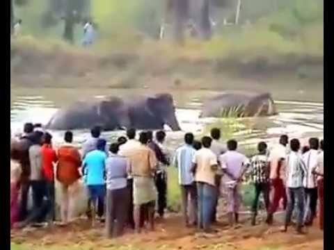 Video Brutal Elephant attack - South India. A lesson for ALL... download in MP3, 3GP, MP4, WEBM, AVI, FLV January 2017