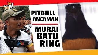 Video Piala Presiden Jokowi : PITBULL Mr. Prio AK47 Jadi Ancaman Di Kelas Murai Batu RING MP3, 3GP, MP4, WEBM, AVI, FLV Maret 2018