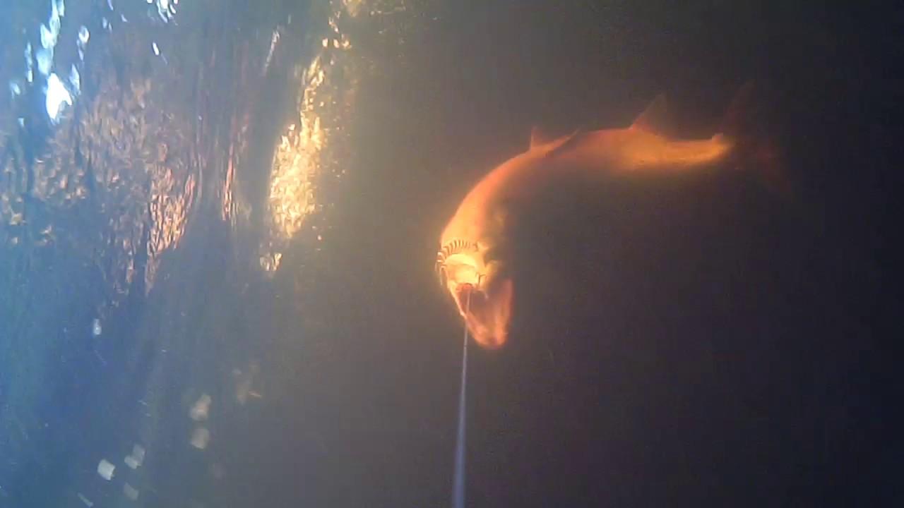 TORNIONJOKI :Katso harvinainen video<br /> veden alta, kuinka lohi iskee vieheeseen