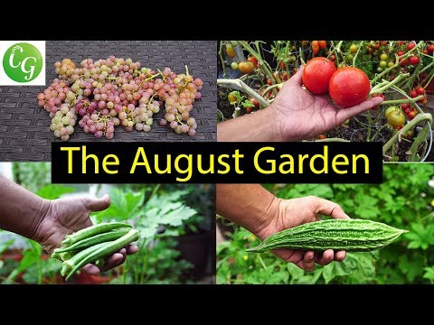 The California Garden In August - Summer Harvests & More!