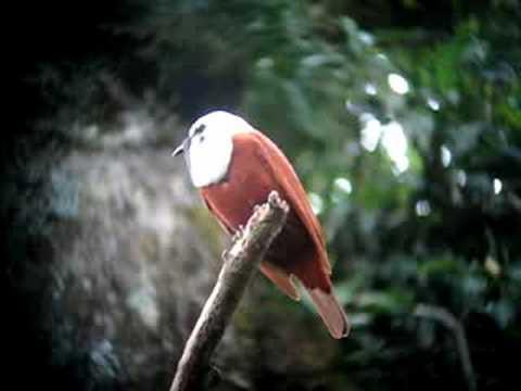 Omituinen lintu ja sen omituinen ääni