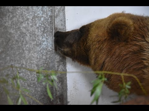 Worbis: Bärin Doro aus Spanien ist im Bärenpark Worbi ...