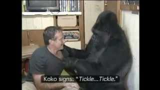Video Koko the Gorilla with Robin Williams.mp4 MP3, 3GP, MP4, WEBM, AVI, FLV Juli 2018