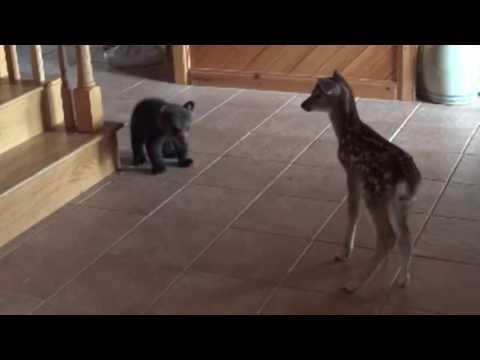 害羞的小熊剛看到小鹿時還「站起來假裝自己很大」,後來卻突然失去信心跑去躲起來超激萌!