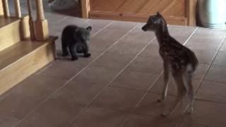 Niedźwiadek pierwszy raz spotyka małą sarnę