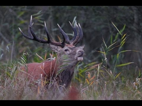red stag hunting in Poland ; Hjortejagt i Polen