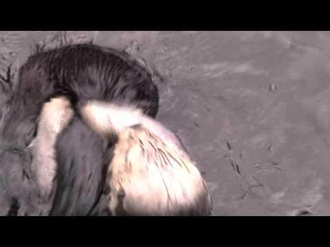 Northern Sea Otter - Vancouver Aquarium