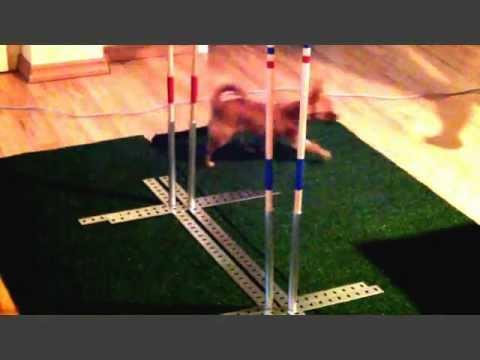 Chihuahua – Slalomtraining