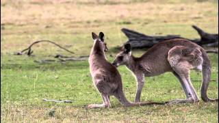 Khmer Travel - Baby Kangaroo Climbs in Mama's Pouch