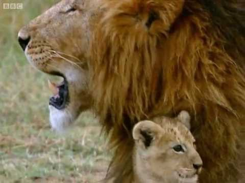 Practising My Roar! | Little Big Cat | BBC