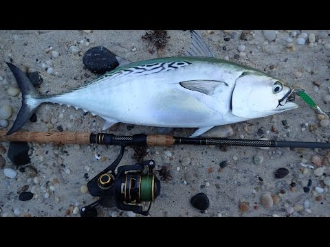 Fun Albacore and Striper Fishing