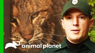 This Feisty Bobcat Has Porcupine Quills Stuck In Her Face | North Woods Law by Animal Planet