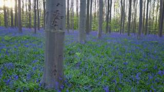 Download Lagu Hallerbos 2017 fly in Blue Forest Mp3