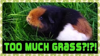 Updates and a warning to be aware of bloat in guinea pigs! Please let me know if you feel a full video on bloat would be useful and I will get one out there. If you're not interested in my ramblings, fast forward to the end to see my three gorgeous piggies enjoying their floortime!Links for BLOAT in guinea pigs:http://www.guinealynx.info/emergency.html#bloathttps://www.petcha.com/beware-of-guinea-pig-bloat/https://cavyadventures.wordpress.com/2012/06/12/the-dreaded-bloat-and-how-to-deal-with-it/http://www.guinealynx.info/forums/viewtopic.php?t=58041