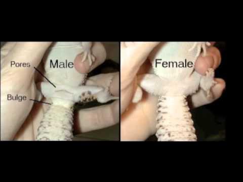 Male or Female Leopard Gecko?