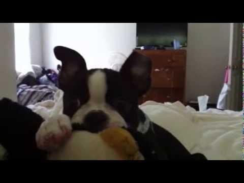 Nyla The Boston Terrier Chews On Her Stuffed Animal