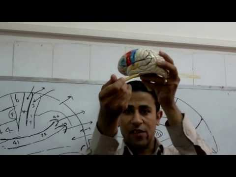 2- Neuroanatomy 2 ...(Dr. Ahmed Hussein)