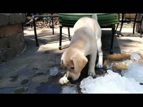 Щенок играет со льдом
