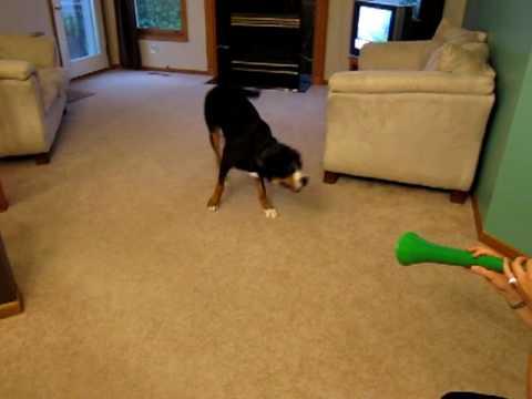 Hund blir smått irriterad på vuvuzuela