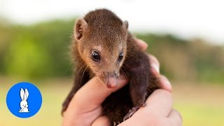 Baby Mongoose Playing - Animal Compilations