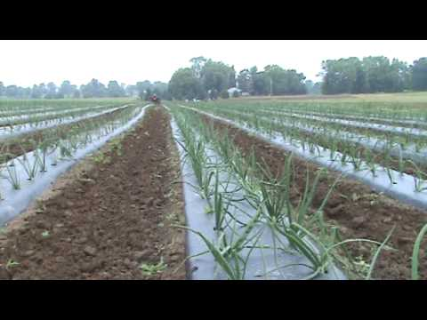 How To Cultivate Onions
