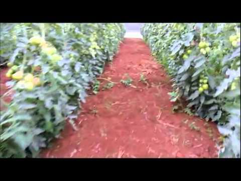 Plantio de Tomates no Rio XV de Baixo em Pitanga xvid