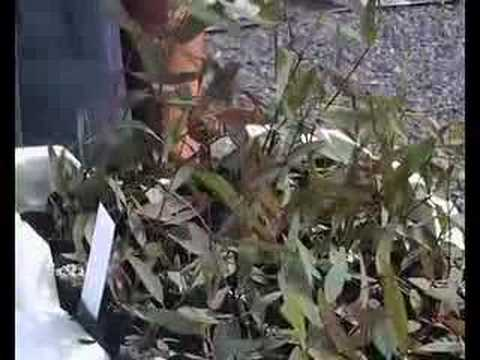 how to transplant loropetalum