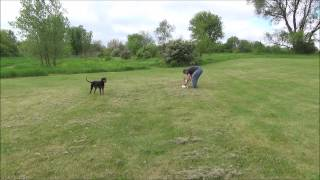 Harley Off Leash Training – Chicago Dog Training