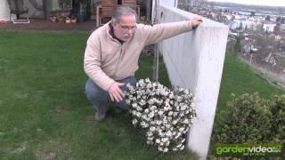 Blooming  Viburnum tinus