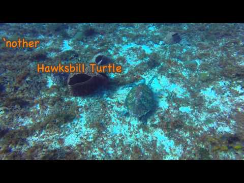 """Tortugas"" (Turtle Gardens) - Playa del Carmen drift dive"
