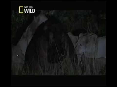 Leão é Morto Por Mordida de Hipopótamo Na Cabeça. Lion is killed by Hippo's Bite on head.
