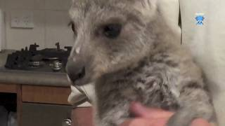 Bryce is an Eastern Grey kangaroo joey who managed to get out of the joey room and find his way to the kitchen, probably to demand an early dinner.