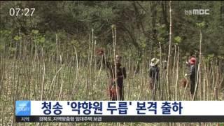 청송 '약향원 두릅' 본격 출하