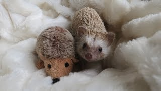 A day in the life of a Hedgehog !!! - YouTube