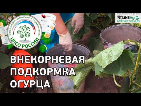 Огурцы - внекорневая подкормка. Выращиваем огурцы в теплице.