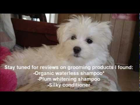 Maltese Grooming Tips