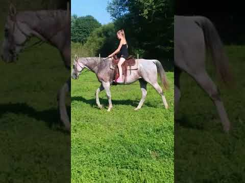 For sale Tank thoroughbred horse