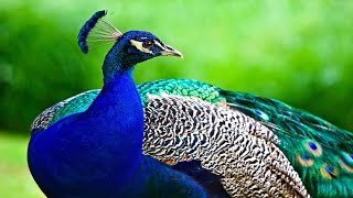 The Peacock Bird - Most Beautiful Peacock in Nature Opening its Feathers