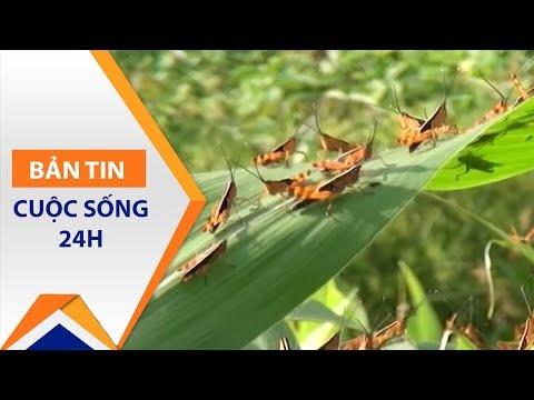 Sơn La: Chi chít nỗi lo từ dịch châu chấu | VTC1 - Thời lượng: 93 giây.