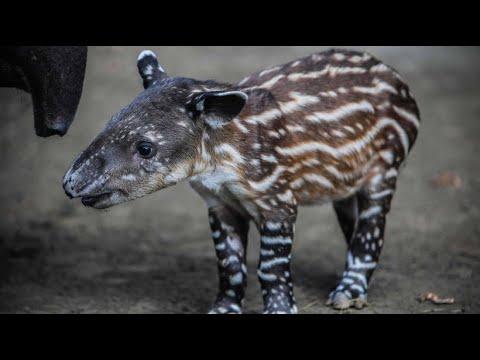 Managua/Nicaragua: Seltener Tapir-Nachwuchs geboren