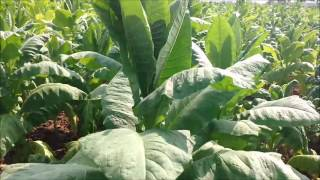 tobacco cultivation in india | tobacco plant