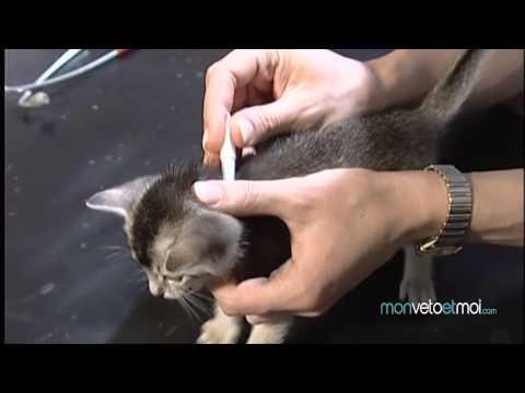 comment traiter puce chat
