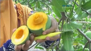 Video Berburu Mangga Alpukat MP3, 3GP, MP4, WEBM, AVI, FLV November 2018