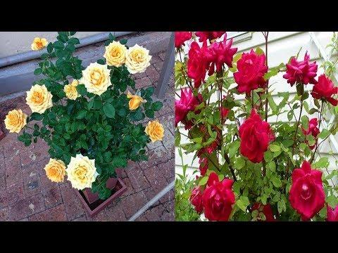 Cara Baru Tanam Bunga Mawar Agar Cepat Tumbuh Dan Berbunga...
