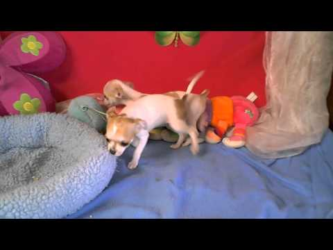 mini-chihuahau.wmv