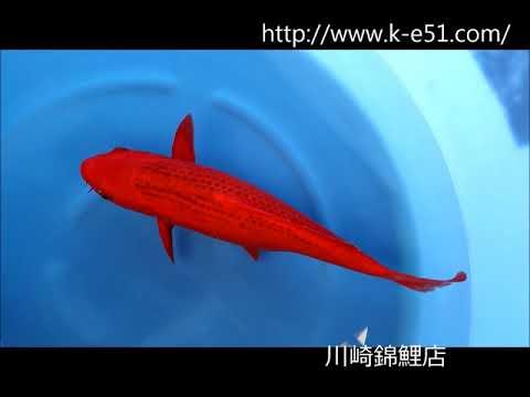 錦鯉販売 川崎錦鯉店の錦鯉 K0290 赤松葉