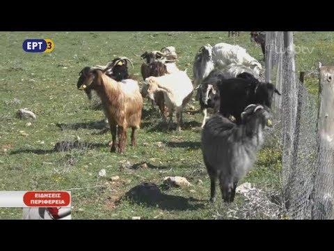 Κτηνοτρόφοι προσφεύγουν στη δικαιοσύνη για το γάλα | 16/10/2018 | ΕΡΤ