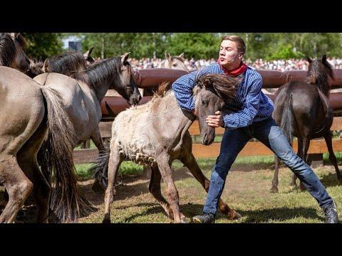Wildpferdefang in Westfalen - die Pferde können erstei ...