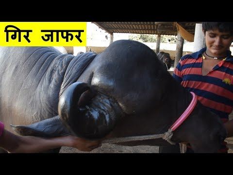 Special Gir Jafarabadi Buffalo With 20 Liter Milk Record In First Lactation